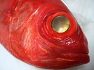 伊豆弓ヶ浜の金目鯛