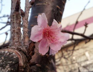 河津桜(みなみの桜)開花情報 伊豆弓ヶ浜の青野川
