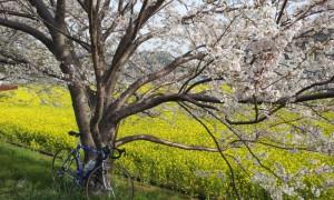 春の南伊豆サイクリング 青野川の桜と菜の花