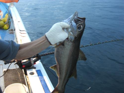 石廊崎沖の朝獲れ地魚、銀ムツ