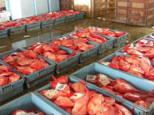 下田魚市場には3種類の金目鯛が水揚げされます。