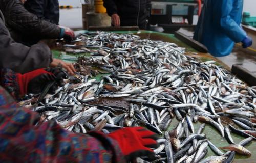 南伊豆漁港の定置網には100kg以上のマグロも入ります。