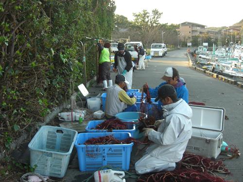 南伊豆の海岸線では伊勢エビ網漁が盛んです。