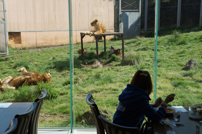 ライオンを見ながらランチ