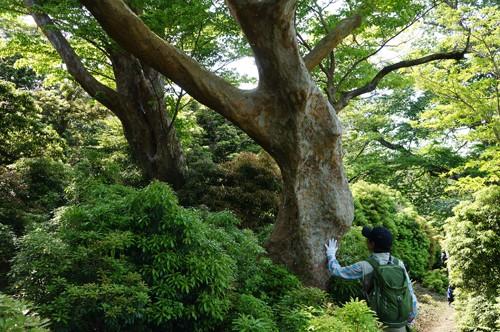 伊豆No.1のヒメシャラ巨木