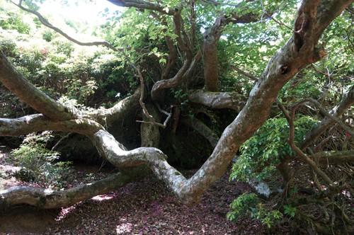 トウゴクミツバの巨木、5月15日頃が見頃