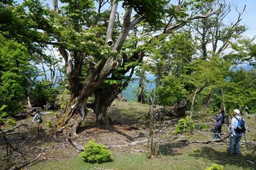 長沢頭手前の 巨大ブナ林の墓場