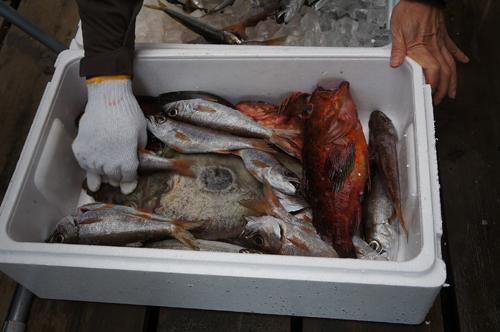 各漁港を回って漁師仲間から集めた地魚を発砲スチロールに入れて弓ヶ浜に持ち帰ります。