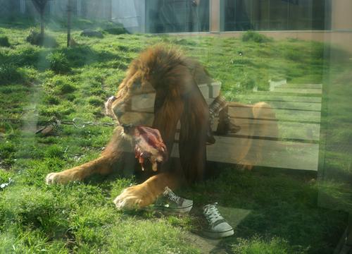 百獣の王ライオンはびくともしない・・・