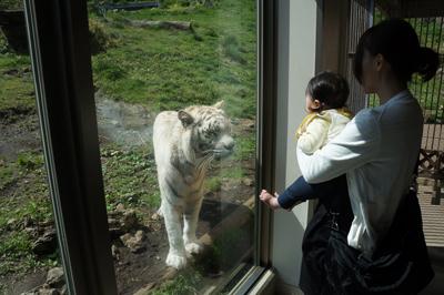 ホワイトタイガーの子供でも近くに来ると迫力満点