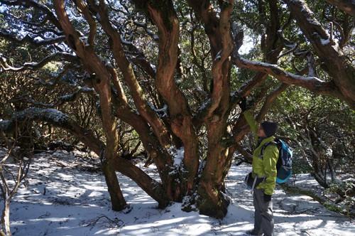 アセビ巨木