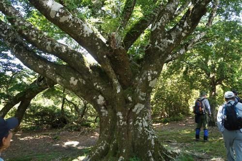 手引頭入口のブナ巨木群