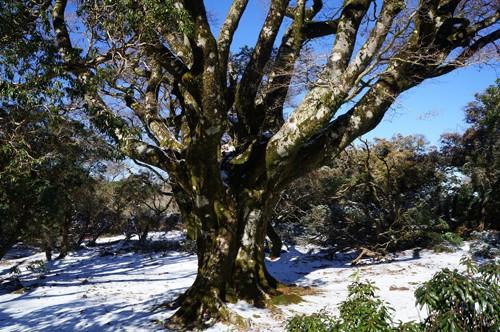 手引頭入口のブナ巨木で、二郎ブナと呼ぶ人もいる。