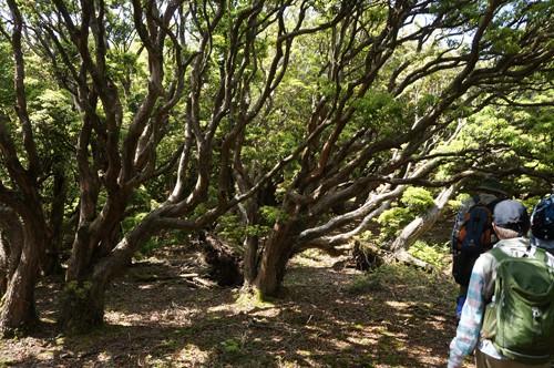 古代原生林に迷い込んだようなアセビ巨木群生地