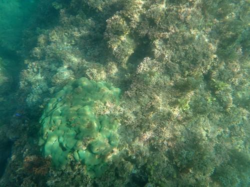 所々で散見されたミドリサンゴ、沖縄以外ではめったに遭遇できない。