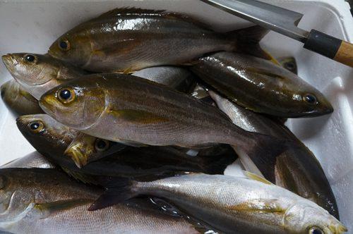 3月末のイサキ釣り、約1時間の釣り時間で10匹くらい釣り上げる